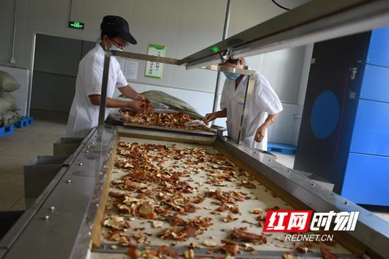 邵东廉桥镇的陈皮加工生产线。