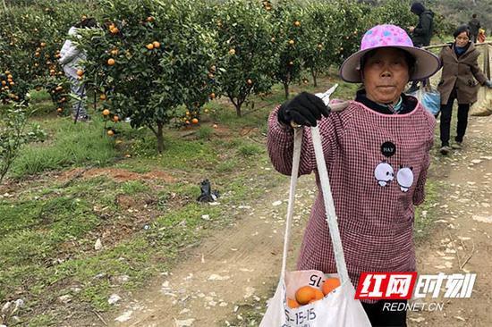 农户采摘沃柑。