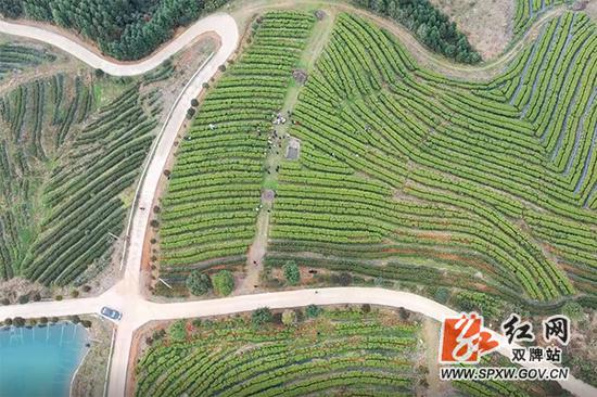 双牌云台山千亩生态茶园。