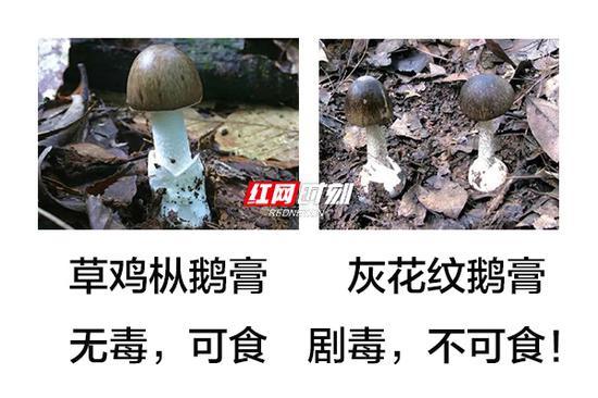 灰花纹鹅膏菌有剧毒。