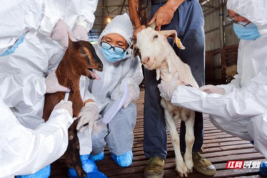 防疫人员正对羊群进行人畜共患病监测采样。