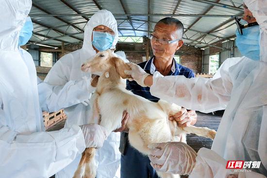 防疫人员正对山羊一丝不苟的检疫。