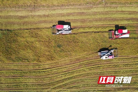洞庭湖区的水稻收割现场。