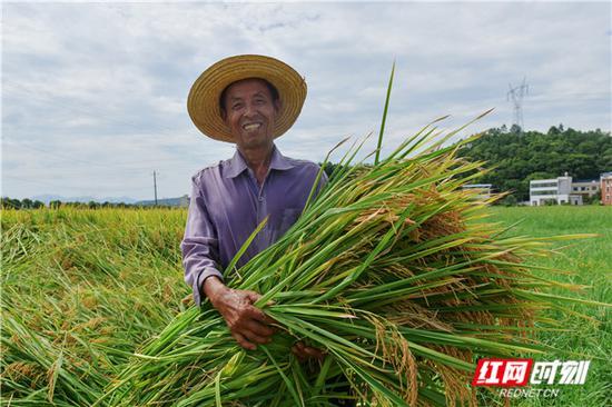 湖南衡东中稻丰收。