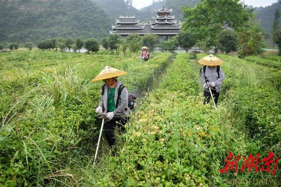 (8月11日,沅陵县官庄镇界亭驿村,村民在茶园里除草。)