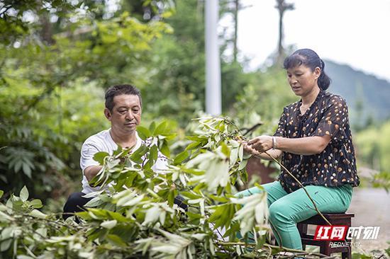 看着满满的一车山胡椒树枝,蒋爱文的老婆立即过来帮忙。