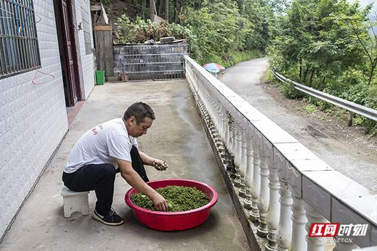 蒋爱文仔细清理摘下来的山胡椒,为保证熬制出来的山胡椒油纯度高,这个工序省不了。