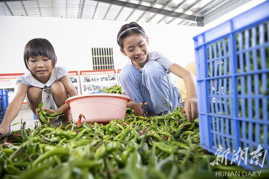(8月22日,永州市冷水滩区麦子园村,周末放假的小孩也和大人一起来到泡菜厂剪辣椒柄。占地2000多平方米的麦子园泡菜厂里非常热闹。湖南日报·华声在线记者 辜鹏博 摄)