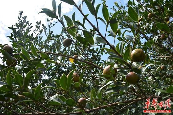 红黄相间的油茶果挂满了枝头。