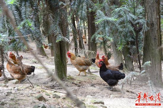 饲养的鸡群在树下休憩闲走。