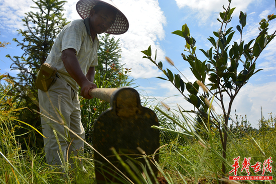 村民给油茶树苗除草松土。