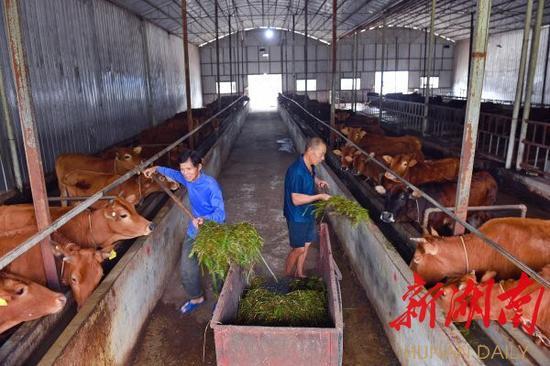 (9月13日,安化县江南镇金田村,工人在黄牛养殖基地给牛喂草料。湖南日报记者 徐行 摄)