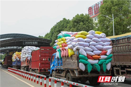 湖南夏粮喜获丰收,等待收粮的农民排起了长队。