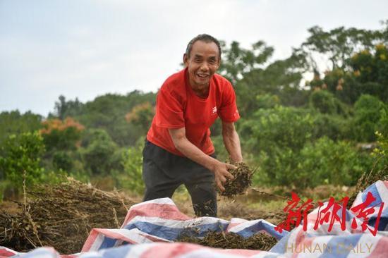 (9月15日,常宁市西岭镇石山村,脱贫户李平粮在地里收获芝麻。钱辉 摄)