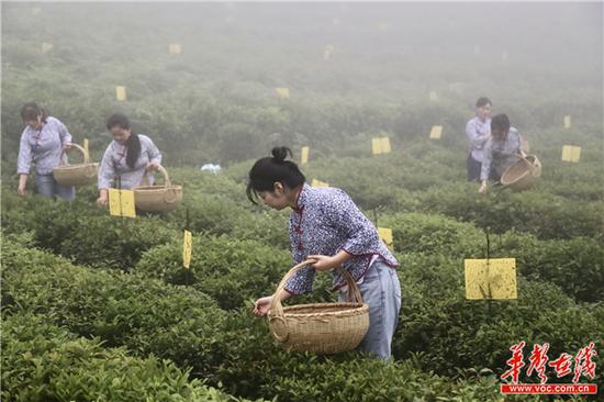 采茶姑娘们在八角茶业的茶园基地演示采茶 刘正良 摄