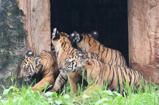 这是9月26日在长沙生态动物园拍摄的华南虎幼崽。 新华社记者 陈振海 摄