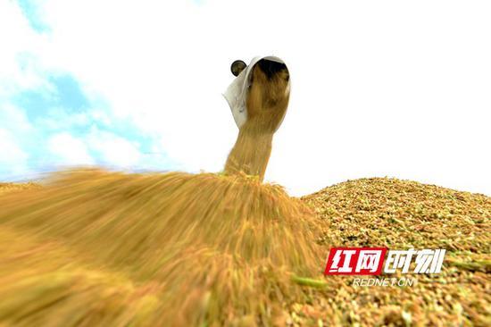 10月19日,双峰县井字镇花桥村双季稻高产种植基地,收割机在卸载稻谷。