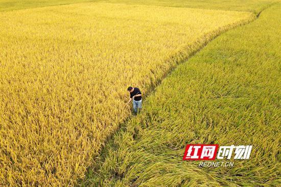 10月19日,双峰县井字镇花桥村双季稻高产种植基地,农民在田间劳作。