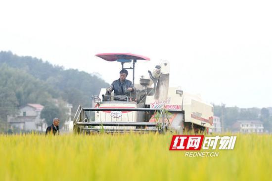 10月19日,双峰县井字镇花桥村双季稻高产种植基地,农民驾驶收割机在收割晚稻。