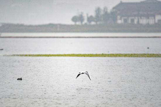 长沙:候鸟冬憩松雅湖
