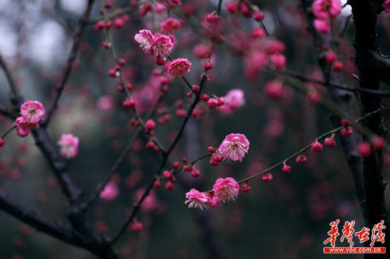 湖南省森林植物园梅花盛开。(彭炜 摄)
