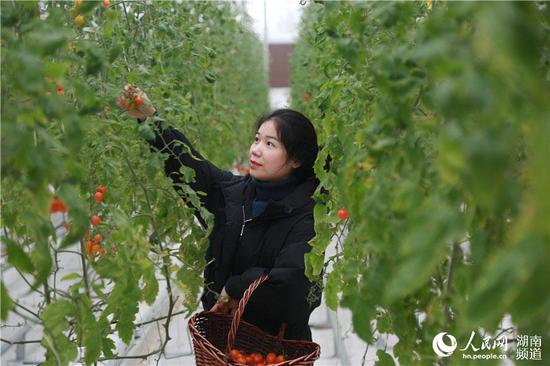 基地工作人员正在采摘小番茄。人民网李芳森摄