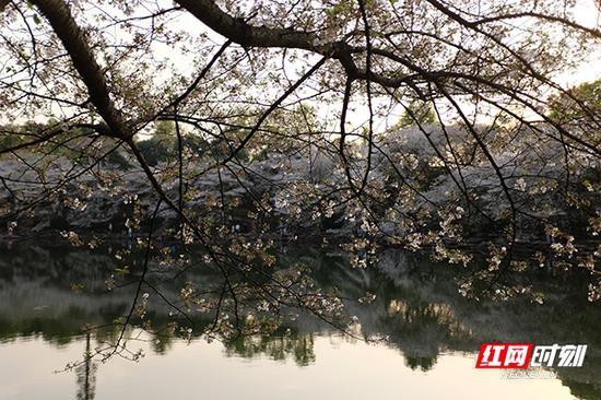 湖南省森林植物园里的樱花湖。