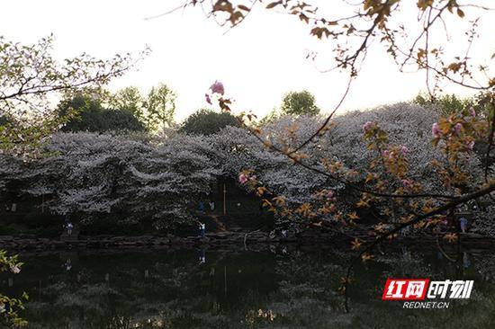 静谧的樱花湖边,人们在散步。