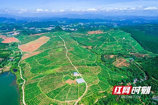 展翔农业公司脐橙基地(邓加亮 摄)