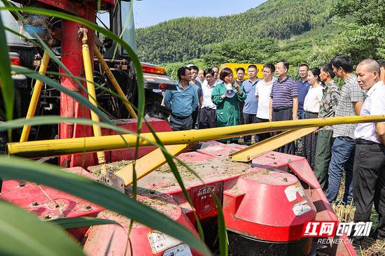 """兴旺畜牧养殖场养牛大户彭美竹推介种植""""巨菌草""""及机械化割草经验。"""