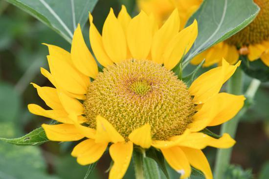 湖南省森林植物园花开灿烂,向日葵花海等你来打卡