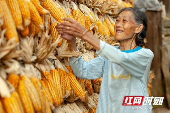 永州市东安县大庙口镇彭家村里的屋檐、木楼上挂满了收获的玉米。一位老奶奶正在查看晾晒的玉米,享受丰收的喜悦。
