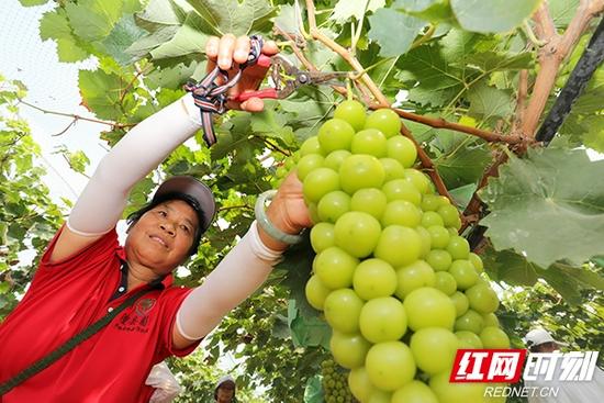 """湖南澧县,""""阳光玫瑰""""葡萄成熟了,果农正从枝头剪取一穗穗诱人饱满的葡萄。"""