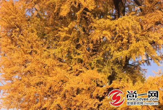 常德诗墙公园内,硕大茂盛的银杏树叶染上透彻的暖色。
