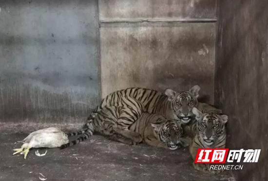 三只华南虎幼崽由母乳喂养至今,成功度过了160多天的观察期,目前长势良好,且能逐步适应生存环境。