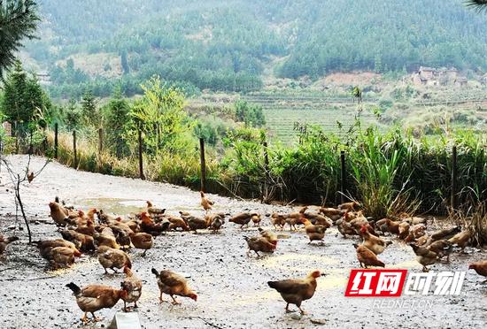 肥源村山泉鸡。