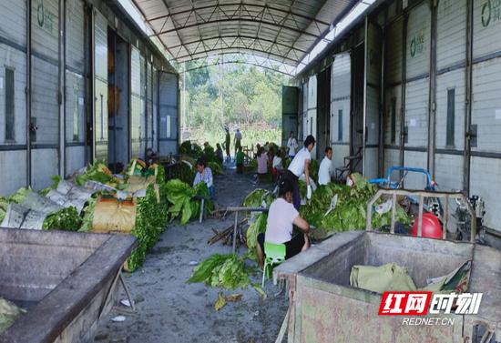 北湖区华塘镇梨园村村民正在烤烟房做烤烟的准备。