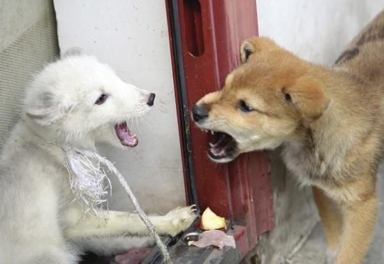23日,长沙岳麓山景区森林消防督察队,北极狐和小土狗正在抢肉片。图/记者辜鹏博