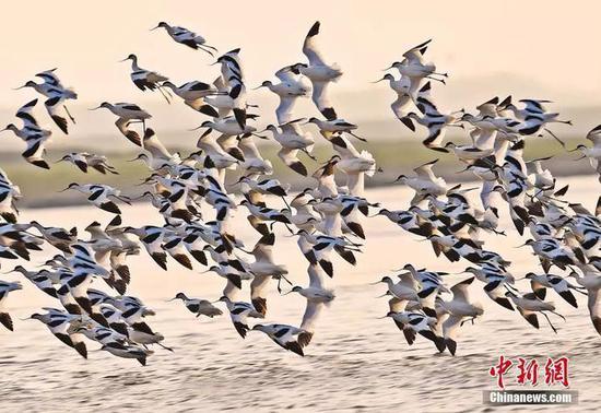 反嘴鹬在湖南东洞庭湖国家级自然保护区振翅齐飞。李风 摄
