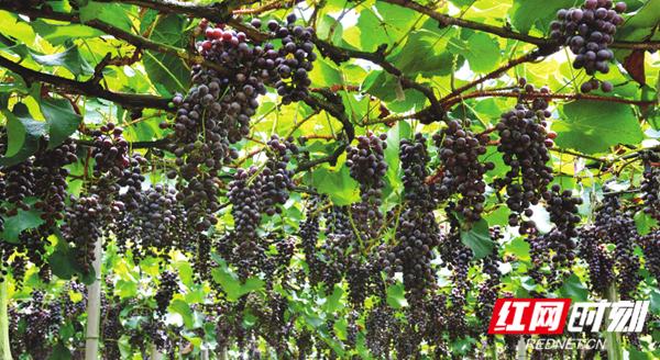 怀化芷江县的高山刺葡萄基地一片丰收景象。