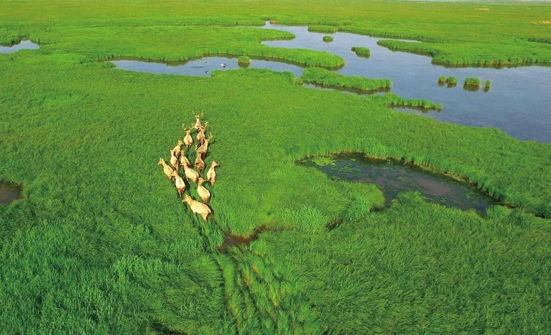 麋鹿群奔跑在东洞庭湖国家级自然保护区内。通讯员 摄
