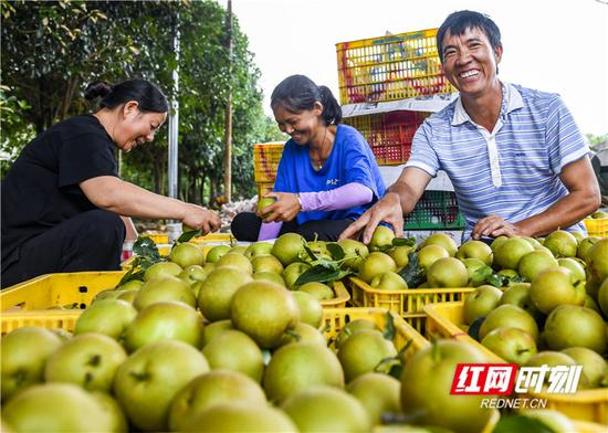 7月10日,道县大坪铺农场的果农在采收、分拣翠冠梨。