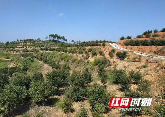 漫山遍野的油茶树为河沿村永久脱贫注入中坚力量。