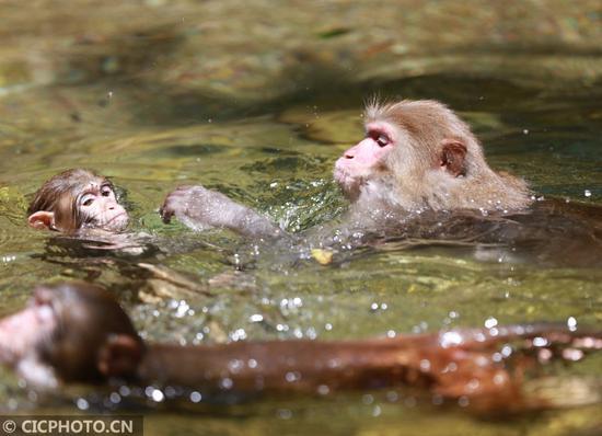 区金鞭溪,猕猴在溪流中玩耍戏水。CICPHOTO/吴勇兵 摄