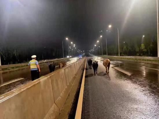 """湘潭一群牛凌晨在公路快车道""""漫步"""",交警徒步驱赶除隐患"""