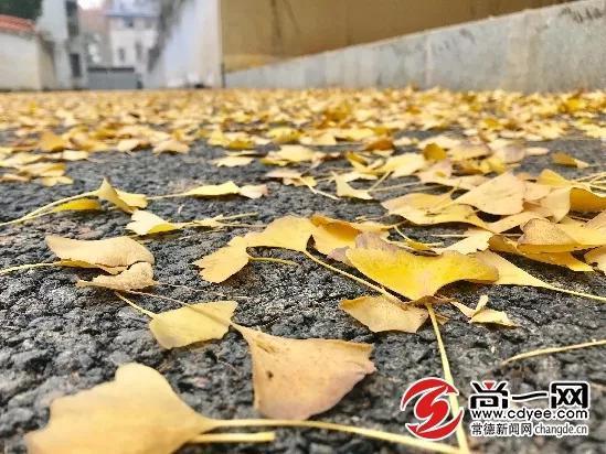 黄叶满地。