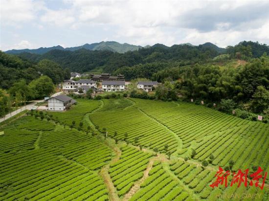 (8月12日,沅陵县官庄镇界亭驿村,漂亮的茶园和整洁的房屋。)