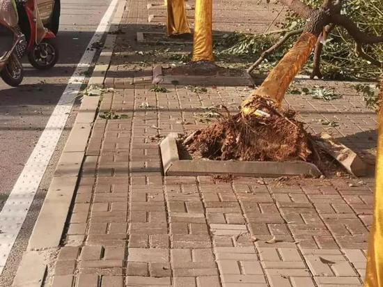 绿化树被撞倒