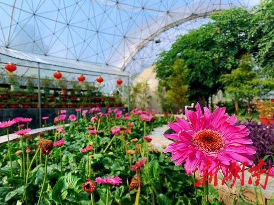 (8月11日,怀化市洪江区桂花园乡茅头园村花卉种植基地,温室大棚内的花卉长势喜人。)