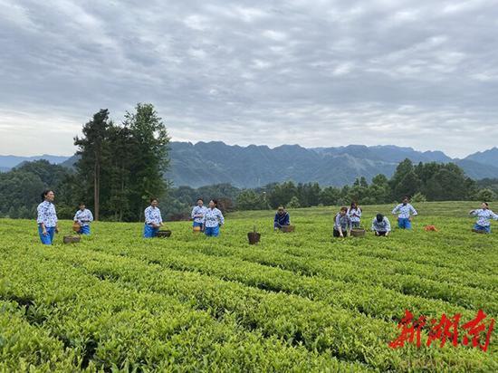 (5月27日,石门县罗坪乡栗子坪村红石林有机茶生产示范基地,农民在采茶。该基地带动了110户农民走向致富路,其中建档立卡贫困户29户、103人。卜云 摄)